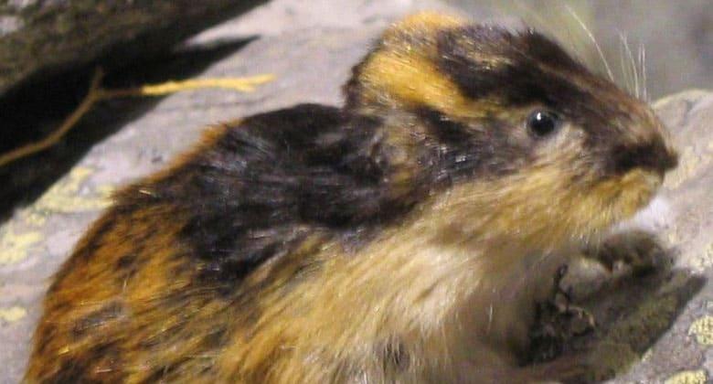 Lemming image