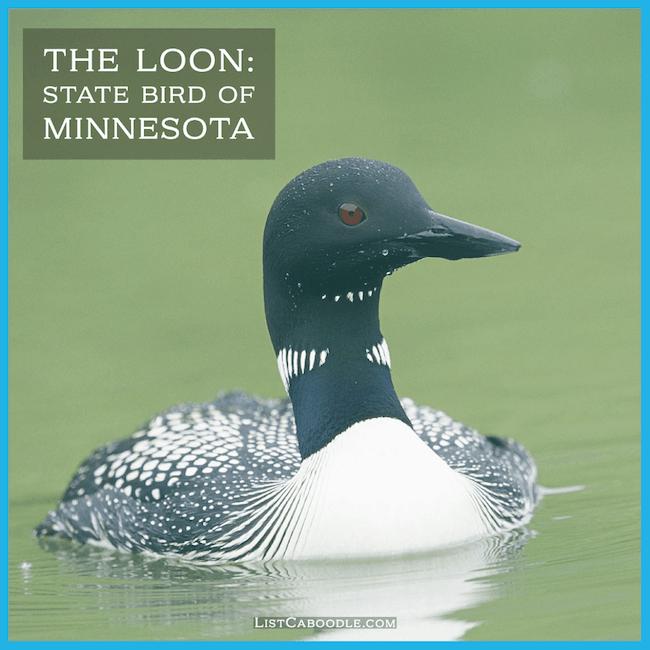 Minnesota state bird - the common loon