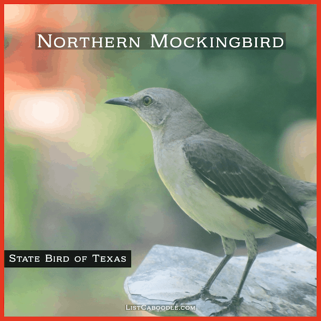 Texas state bird - Mockingbird