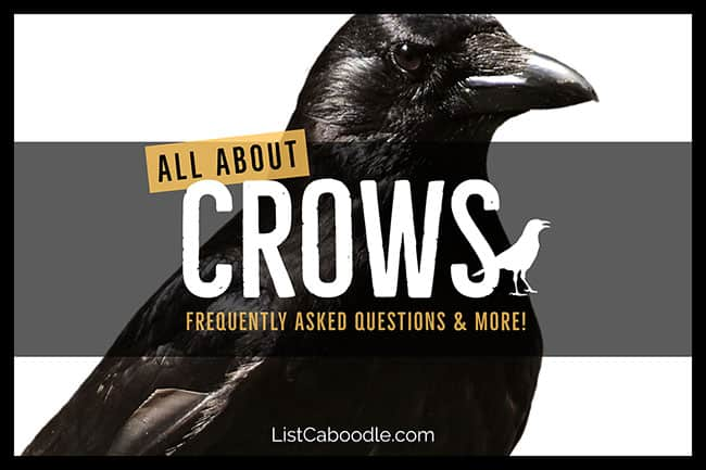 All About Crows