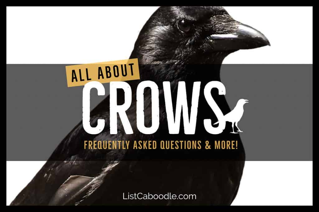 Crow Facts & FAQs