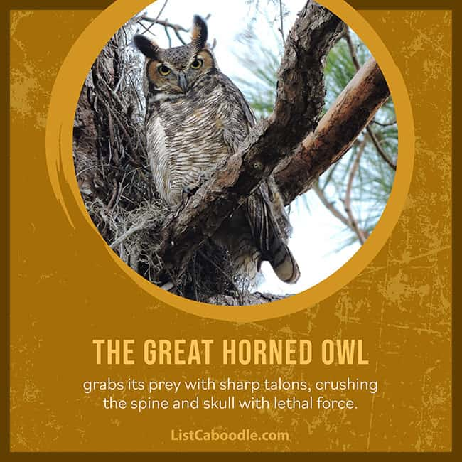 The Great Horned Owl grabs its prey with sharp talons, crushing the spine and skull with lethal force.