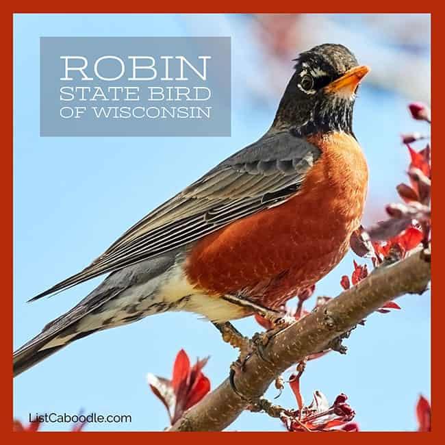 Robin state bird of WI